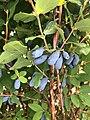 Haskap berries, a major source of Flavnoids and anthrocynins.jpg