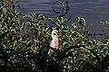 Hasties Swamp White-Necked Heron.jpg
