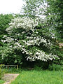 Hawthorn in hedge.jpg