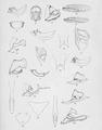 Hebard Malayan Melanesian and Australian Tettigoniidae 1922 Plate XIII.png