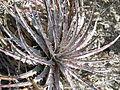 Hechtia species (5780143425).jpg
