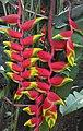 Heliconia Rostrata in Assam.jpg