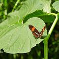 Heliconius melpomene rosina-IMG 0805.JPG