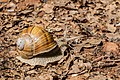 Helix pomatia in Aveyron (2).jpg