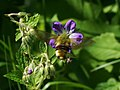Hemaris fuciformis - Broad-bordered bee hawk-moth - Шмелевидка жимолостная (42620754751).jpg