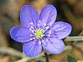 Hepatica noblis 20060501 004.jpg