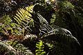 Herbstfarne am Würmseeweg im LSG Forst Rundshorn IMG 3100.jpg