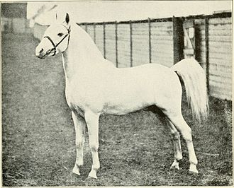 Welsh Pony and Cob - Welsh pony, 1911
