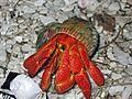 Hermit Crab - Flickr - GregTheBusker.jpg