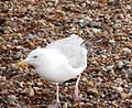 Herring Gull 004.JPG