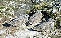 Herring Gulls (Larus argentatus) - geograph.org.uk - 1946924.jpg