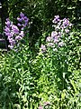 Hesperis matronalis subsp. matronalis sl1.jpg