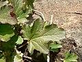 Heuchera cylindrica 15556.JPG
