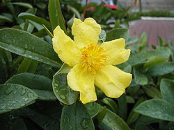 meaning of hibbertia