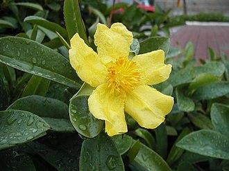 Hibbertia - Hibbertia scandens