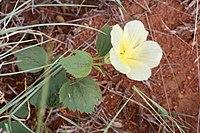 Hibiscus aethiopicus (Malvaceae) (47254222921).jpg