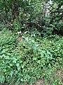 Hieracium laevigatum plant (01).jpg