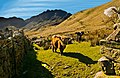 Highland Cattle, Buttermere - panoramio.jpg