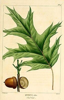 Histoire des arbres forestiers de l'Amérique septentrionale (Pl. 26) (8720656612)