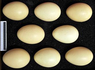 Harlequin duck - Eggs, Collection Museum Wiesbaden