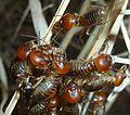 Hodotermes mossambicus, op droë gras, c, Voortrekkerbad.jpg