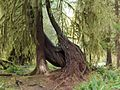 Hoh rain forest trees.jpg