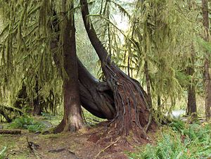 Life - Plant growth in the Hoh Rainforest