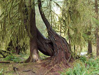 La Compassion dans Méditation 319px-Hoh_rain_forest_trees