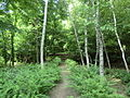 Hokkaido University botanical garden Japanese white birch.JPG