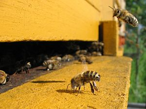 Colony collapse disorder - Honey bees at a hive entrance: One is about to land and another is fanning.