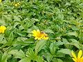Honeybee on a flower 01.jpg