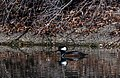 Hooded Merganser - male 1.jpg