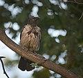 Hooded crow (29320054601).jpg