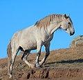 Horse Altai 02.jpg