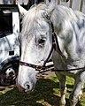 Horse drawn hearse horse City of London Cemetery 5.jpg