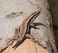 Horvath's rock lizard Iberolacerta horvathi (15860556444).jpg