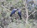 House Crow Corvus splendens by Raju Kasambe DSCN0468 (7) 33.jpg