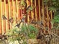 House Sparrow Passer domesticus by Raju Kasambe DSCN2160 (1) 06.jpg