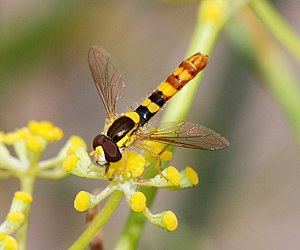 Common long-bellied hover fly (Sphaerophoria scripta), male