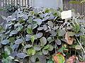 Hoya australis - Balboa Park Botanical Building - DSC06782.JPG