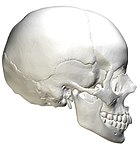Human Skull Lateral View Unlabeled.jpg