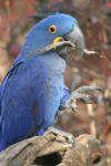 Hyacinth Macaw - Nashville Zoo.jpg