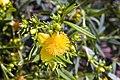 Hypericum kalmianum Gemo 3zz.jpg