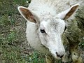 I guess this is an heirloom sheep of some kind because it basically looked like a shaggy goat - panoramio.jpg