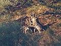 Iberian Wolf 04.jpg