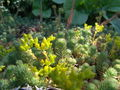 Iceland Plants 4854.JPG
