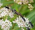 Ichneumonidae (38719830405).jpg
