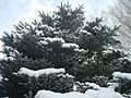 Icicles forming on Blue Spruce.jpg