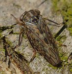 Idiocerus herrichi March 10, 2011.jpg