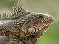 Iguana de Venezuela.jpg
